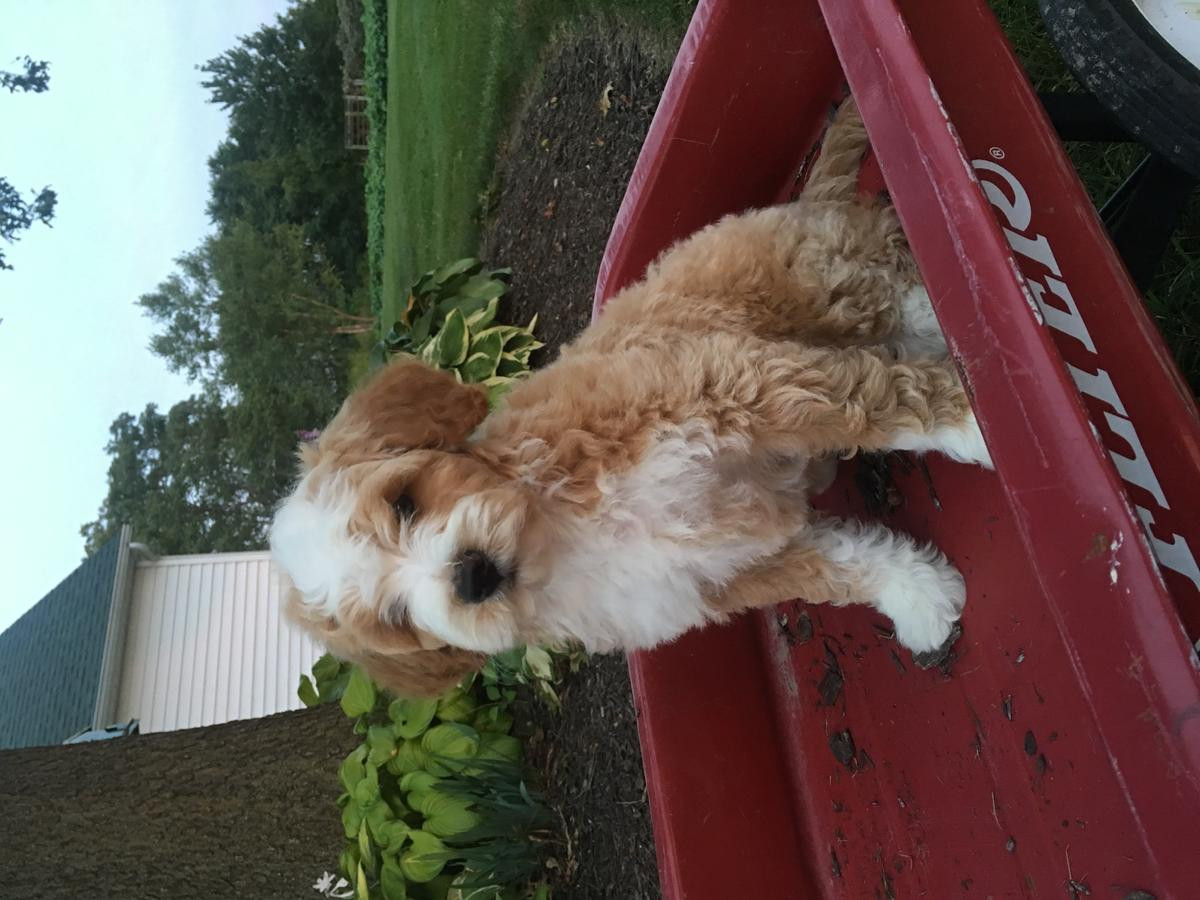 Poodle Puppies For Sale | San Diego, CA #241541 | Petzlover