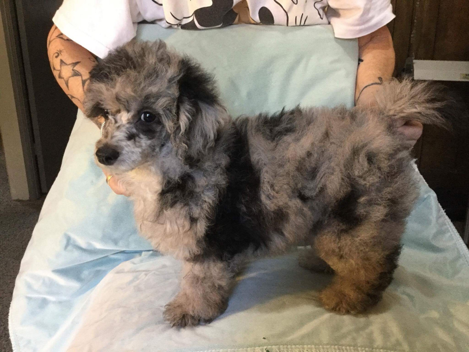 Poodle Puppies For Sale | Wyoming USA #244671 | Petzlover