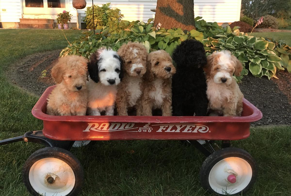 Poodle Puppies For Sale Pittsburgh Pa 244980 Petzlover