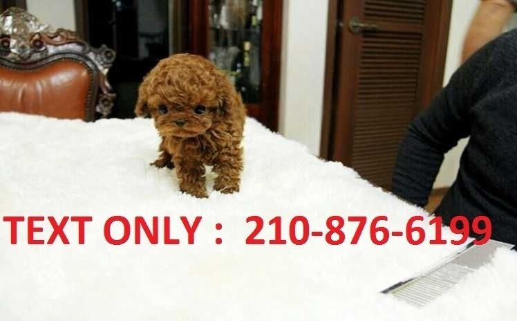 Poodle Puppies For Sale Seattle Wa 253809 Petzlover