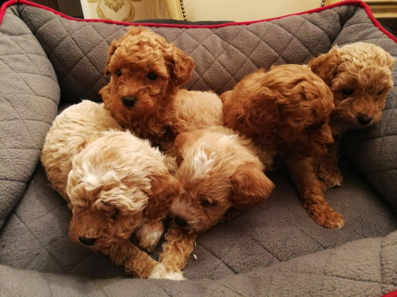 Poodle Puppies For Sale | Boise, ID #139376 | Petzlover