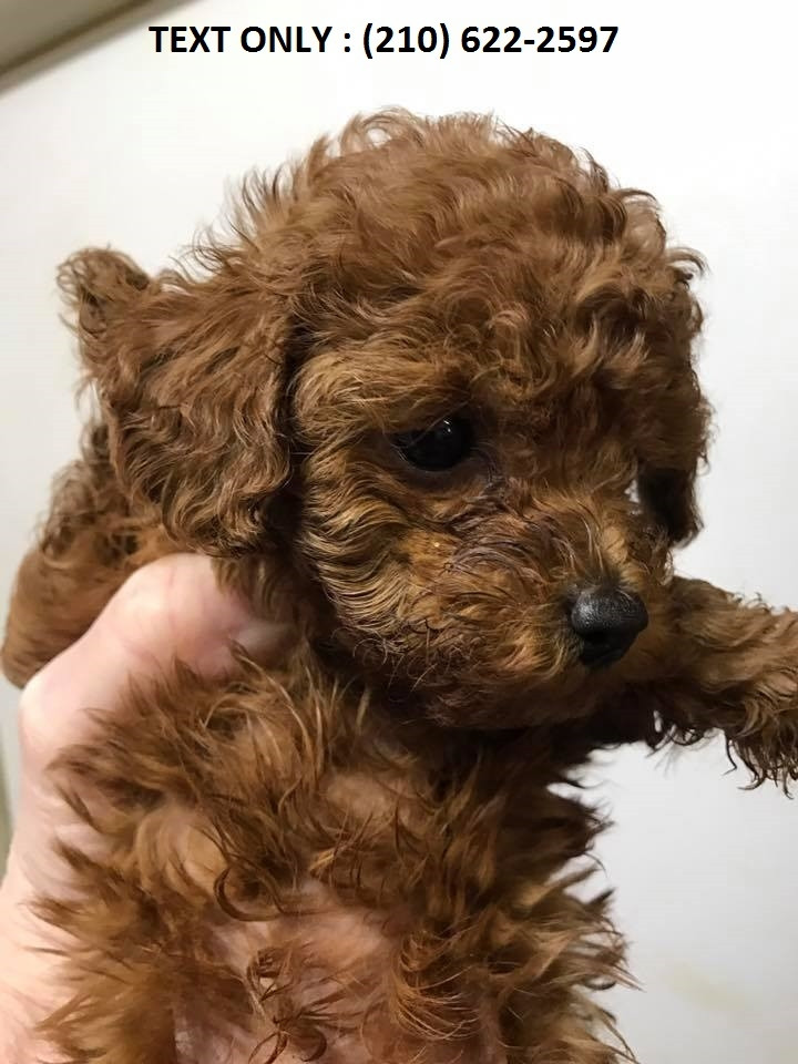 Poodle Puppies For Sale Seattle Wa 255930 Petzlover