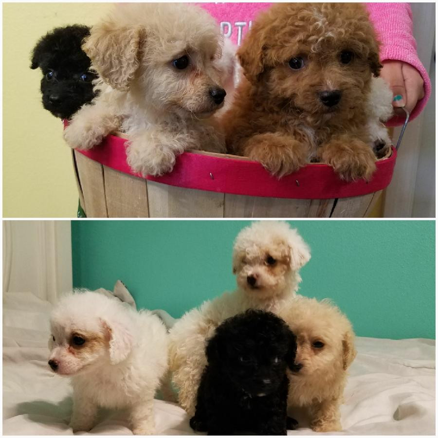 Buy Poodle Puppies for sale in Iqaluit Nunavut Canada