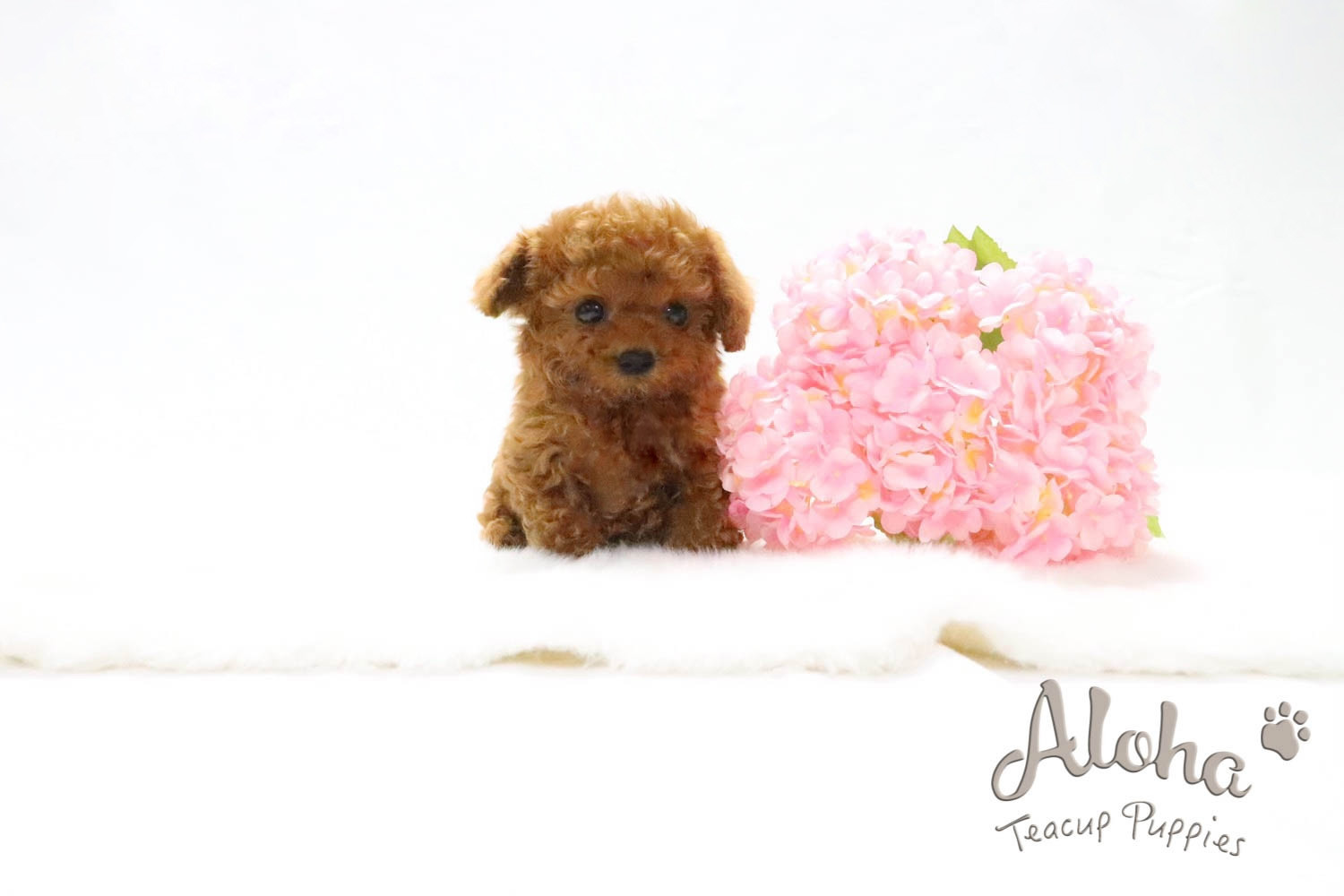 Poodle Puppies For Sale New York Ny 277625 Petzlover