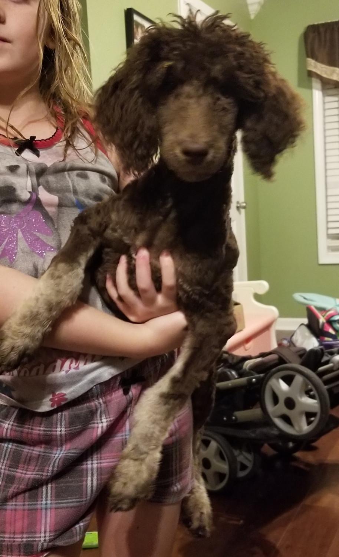 Poodle Puppies For Sale Auburn Ky 279825 Petzlover