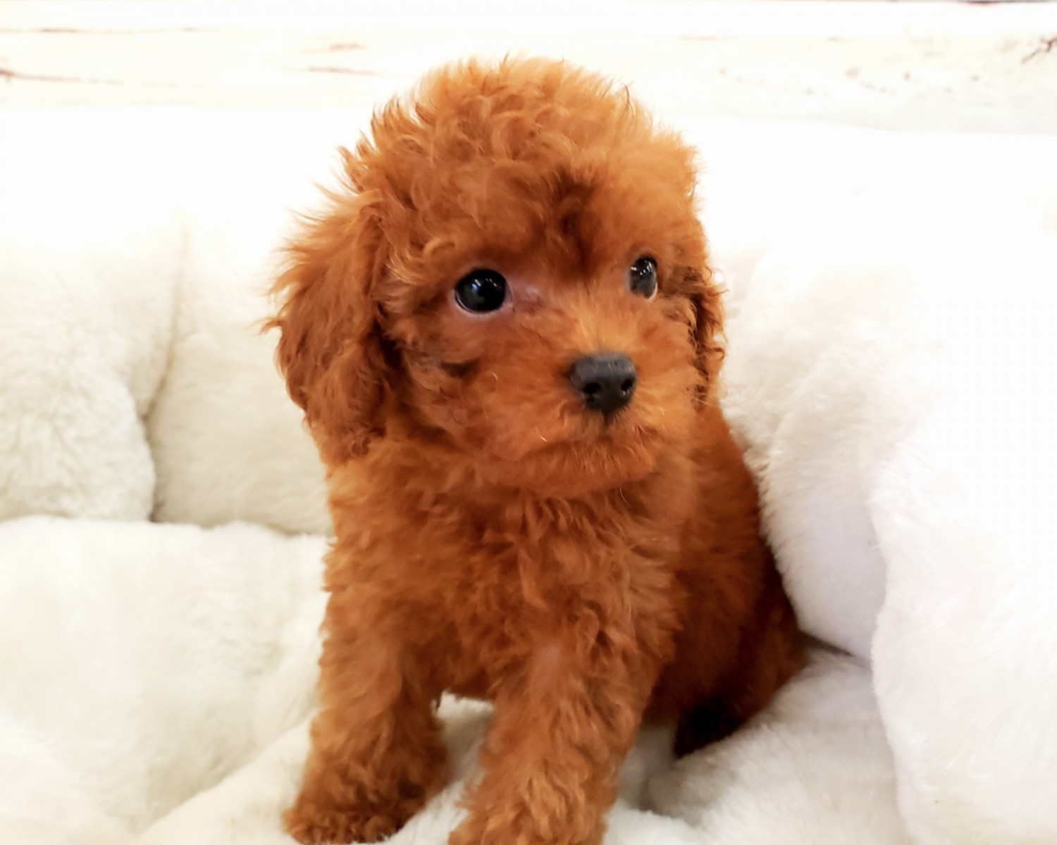 Poodle Puppies for sale Lincoln, NE