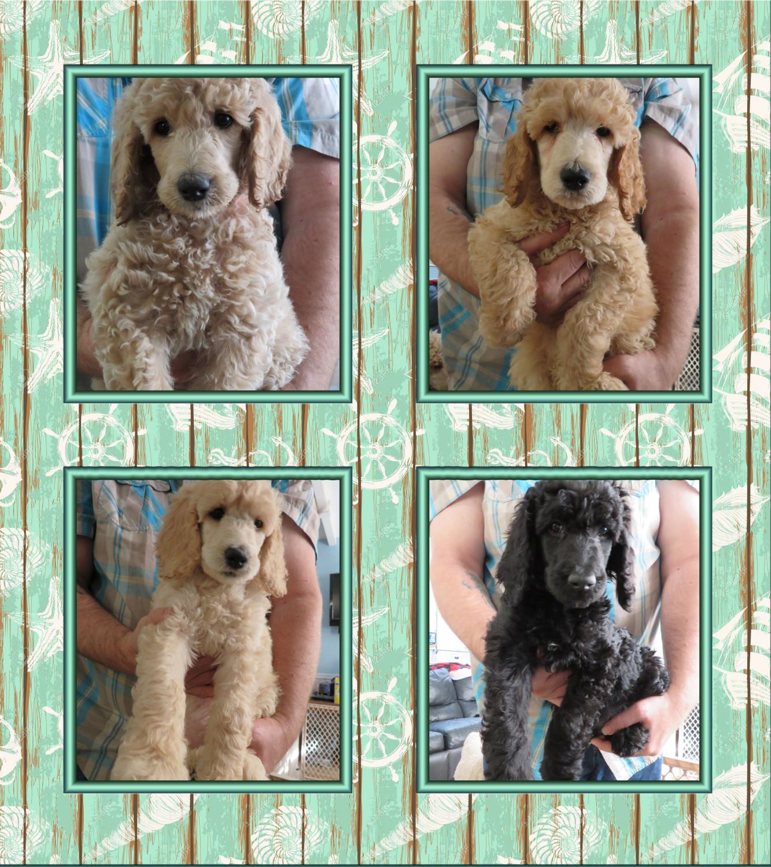 Poodle Puppies For Sale Flint Township Mi 287810