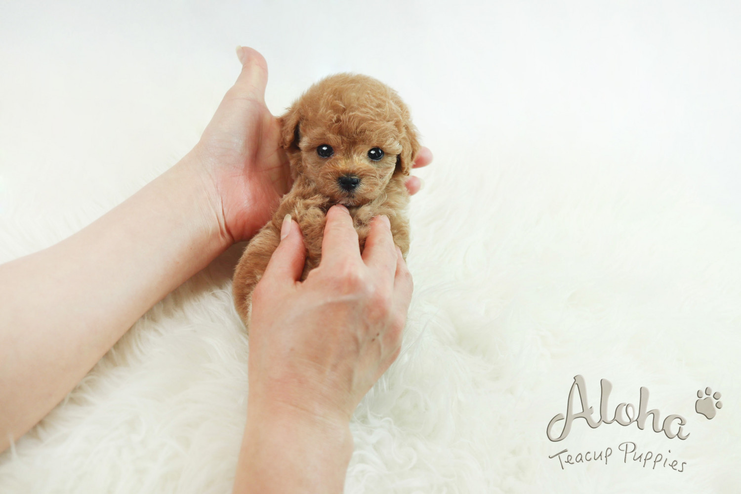 Poodle Puppies For Sale | New York, NY #296263 | Petzlover
