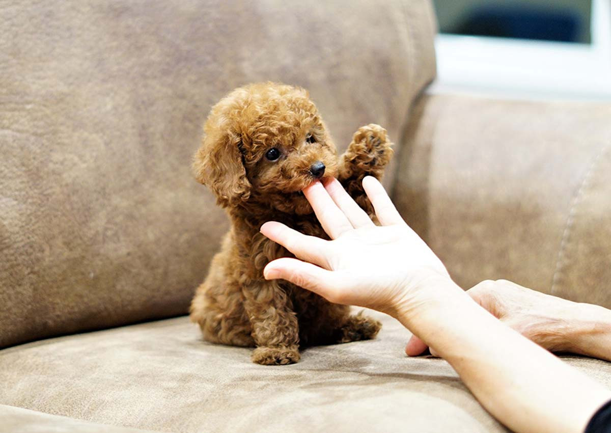 Poodle Puppies For Sale Orange County Ca 297436
