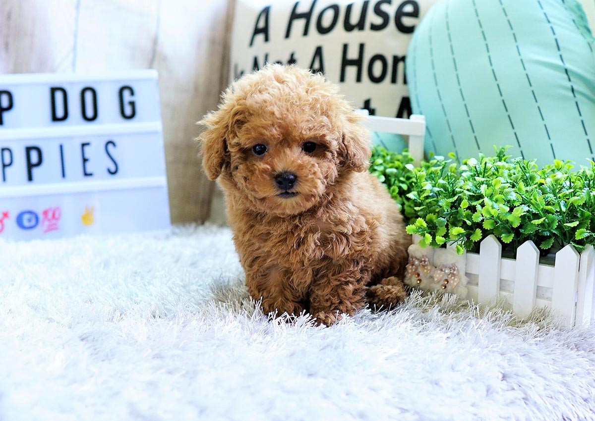 Poodle Puppies For Sale Orange County Ca 298837