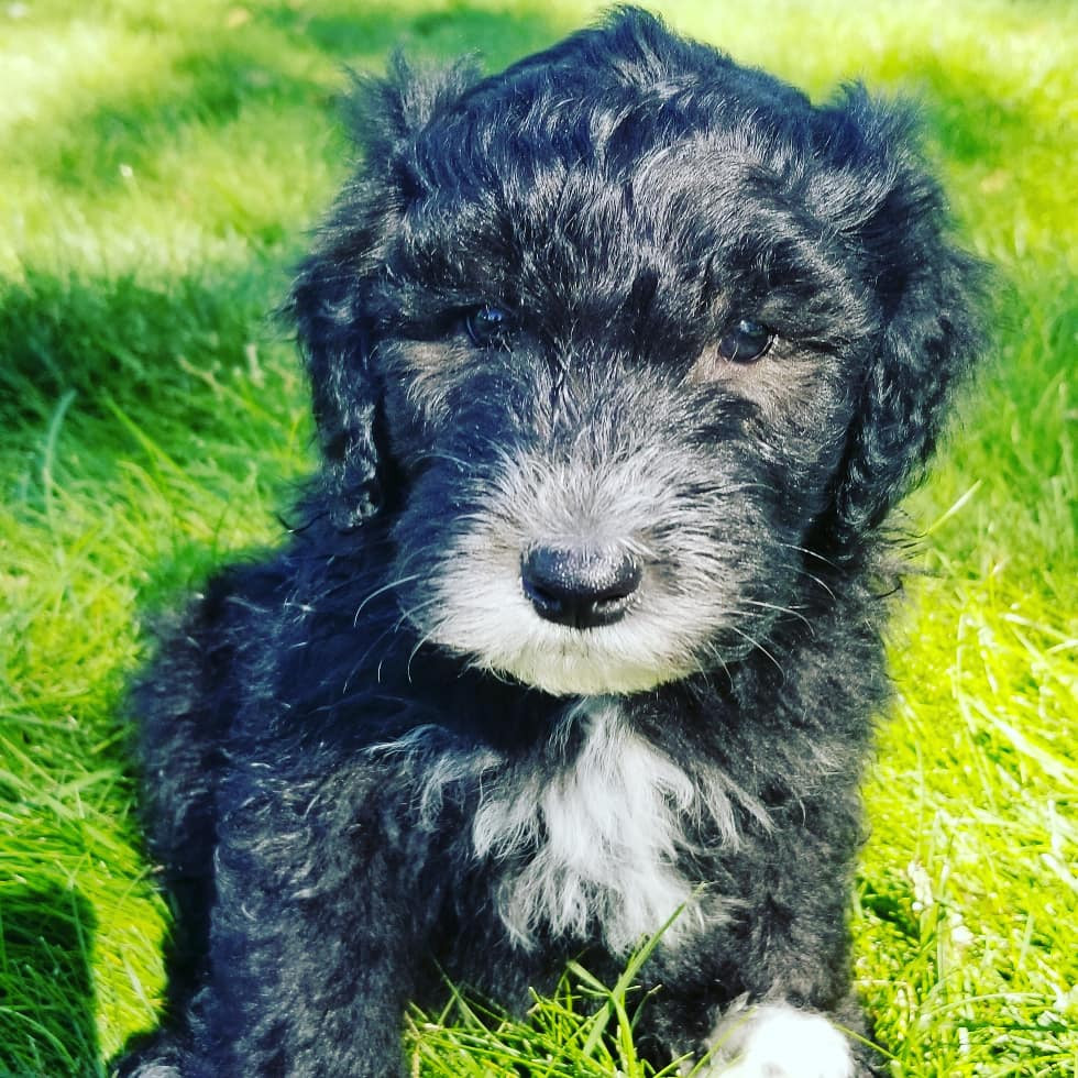Poodle Puppies For Sale Oakley Id 302796 Petzlover