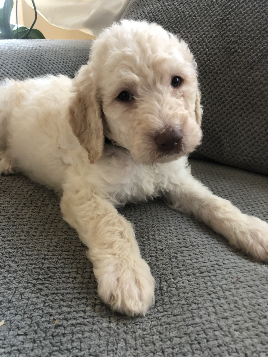 Poodle Puppies For Sale Vancouver Wa 302876 Petzlover