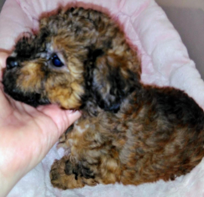 Poodle Puppies For Sale Fischer Tx 297951 Petzlover