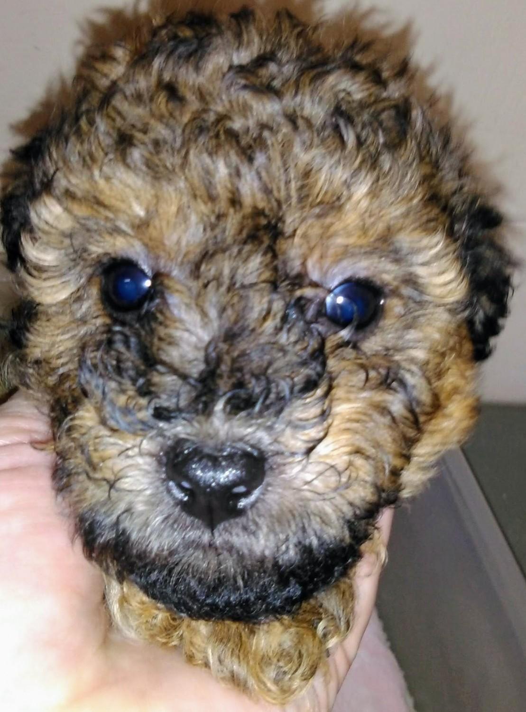 Poodle Puppies For Sale Fischer Tx 303548 Petzlover