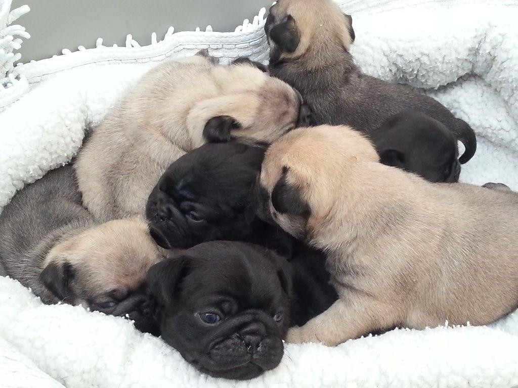 puppies for sale in columbia sc pug puppies for sale columbia sc 96619 petzlover 8835