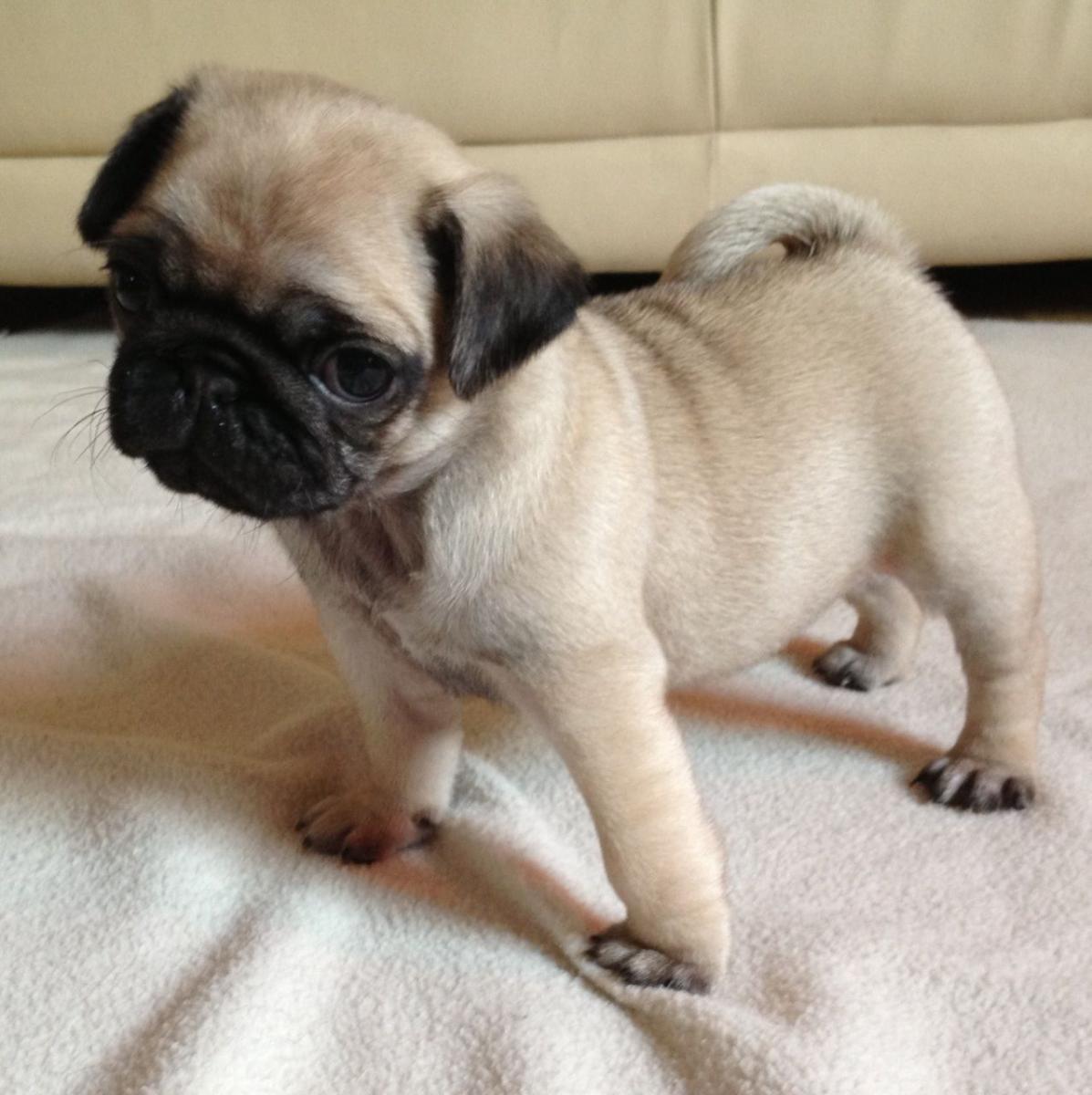 Pug Puppies For Sale Aberdeen Sd 97820 Petzlover