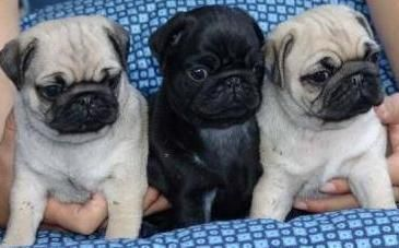pug puppies for sale in az pug puppies for sale phoenix az 118986 petzlover 4151