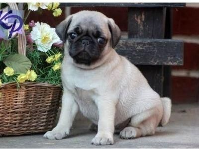 Pug Puppies For Sale Chicago Il 121612 Petzlover