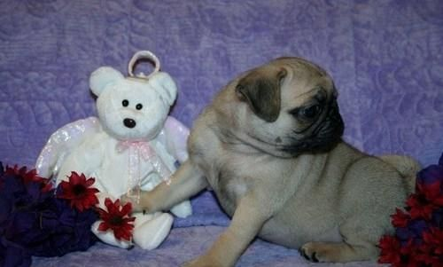 Pug Puppies For Sale Chattanooga Tn 122893 Petzlover
