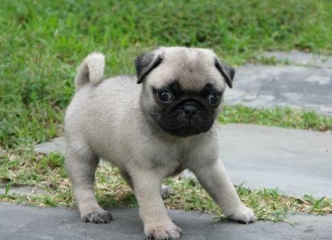 Pug Puppies For Sale Greensboro Nc 137730 Petzlover
