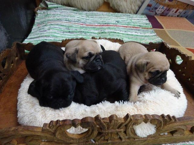 Pug Puppies For Sale Toledo Oh 142635 Petzlover