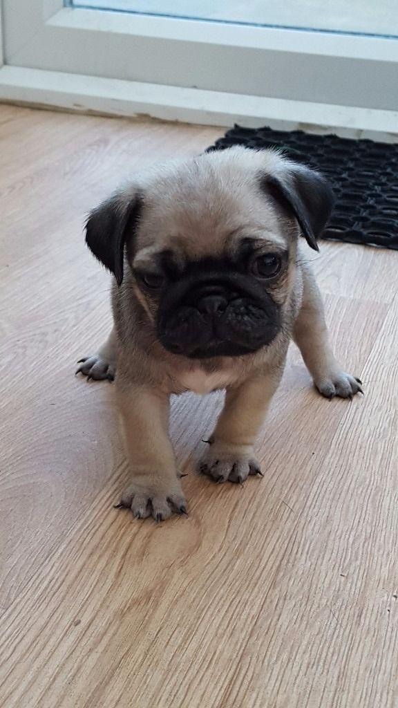 Pug Puppies For Sale | Idaho Falls, ID #157190 | Petzlover