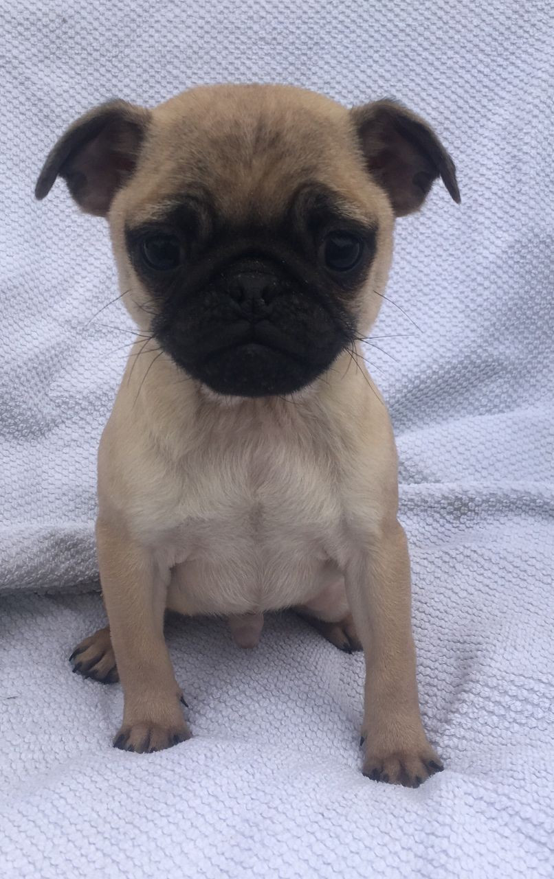 Pug Puppies For Sale Houston Tx 171995 Petzlover