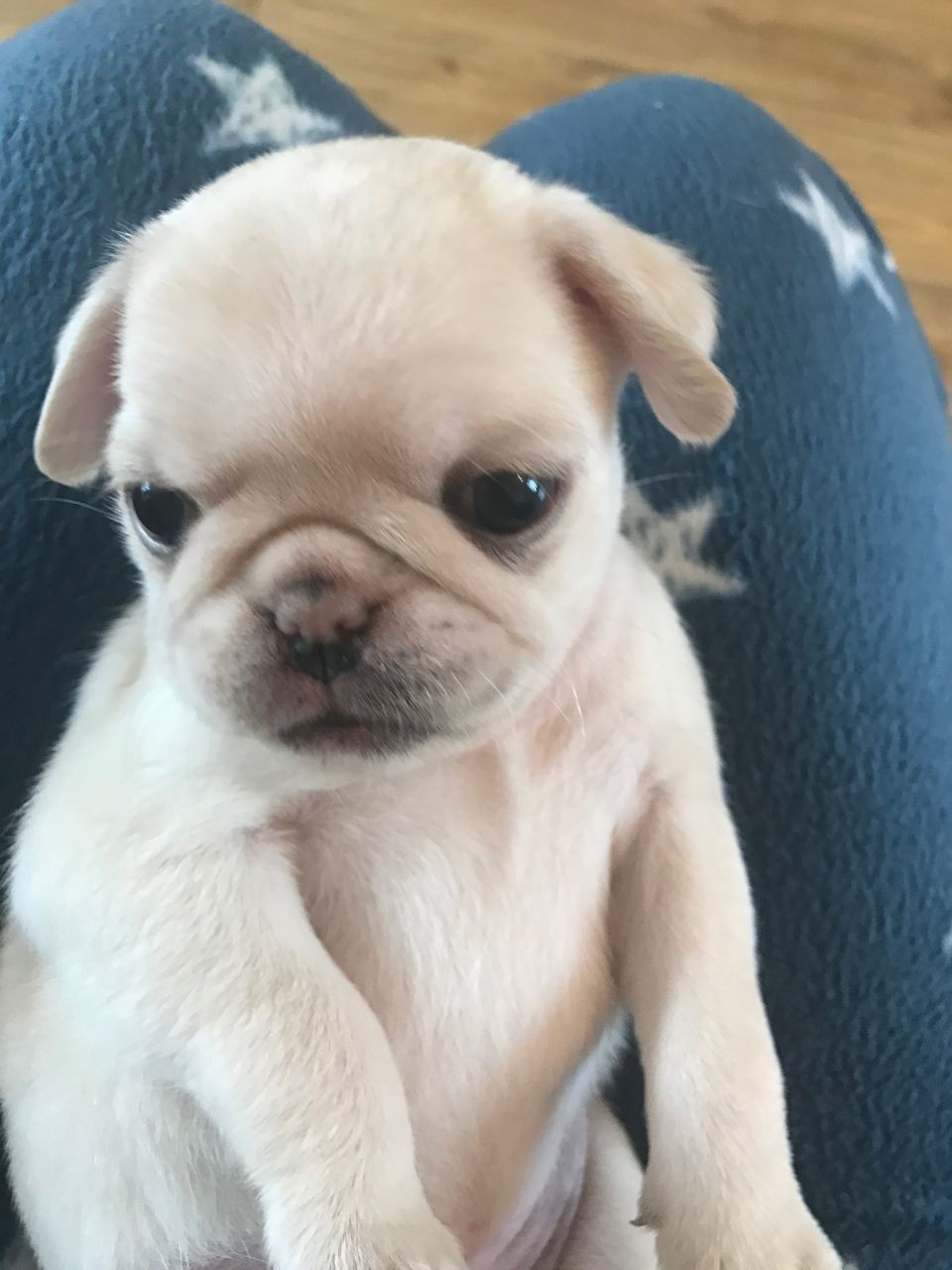 Pug Puppies For Sale Chicago Il 173991 Petzlover