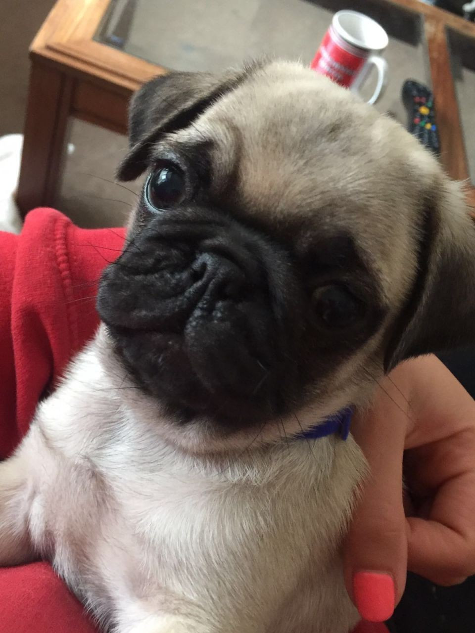 Pug Puppies For Sale New York Ny 178916 Petzlover