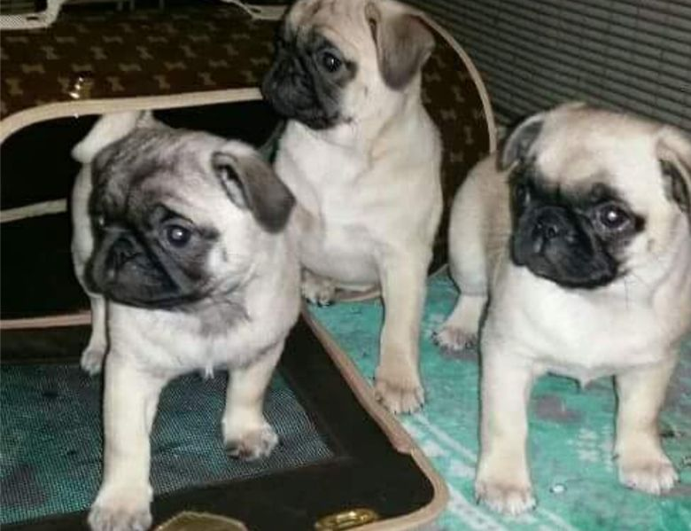 pug breeders in va pug puppies for sale richmond va 185552 petzlover 4727