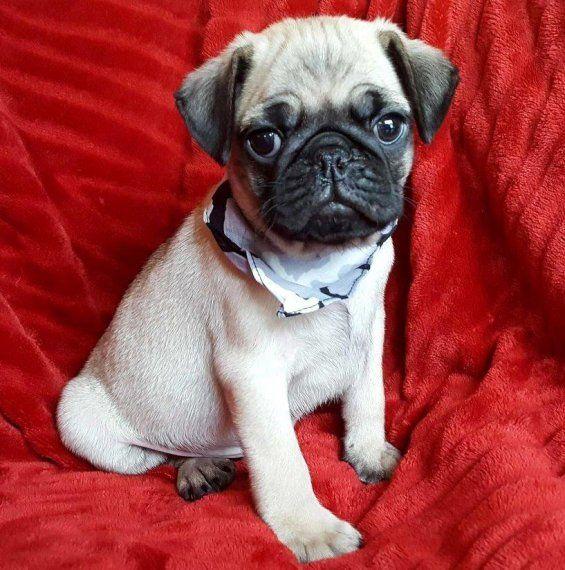 Pug Puppies For Sale Montgomery Al 187086 Petzlover