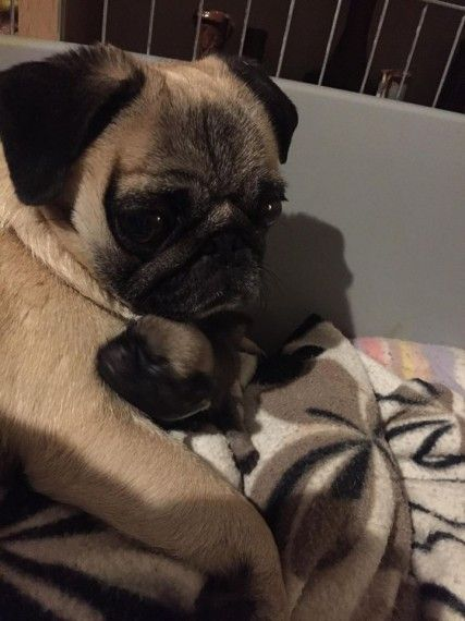 Pug puppies san diego for sale