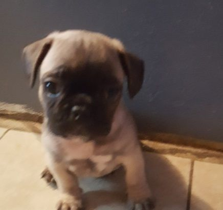 Pug Puppies For Sale Hells Kitchen New York Ny 192720