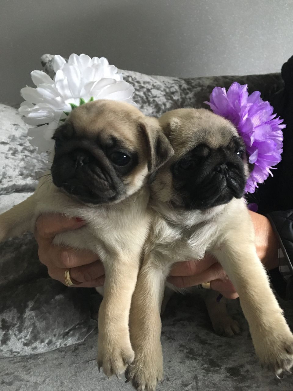 Z Gallerie Pug Pug Puppies For Sale |...