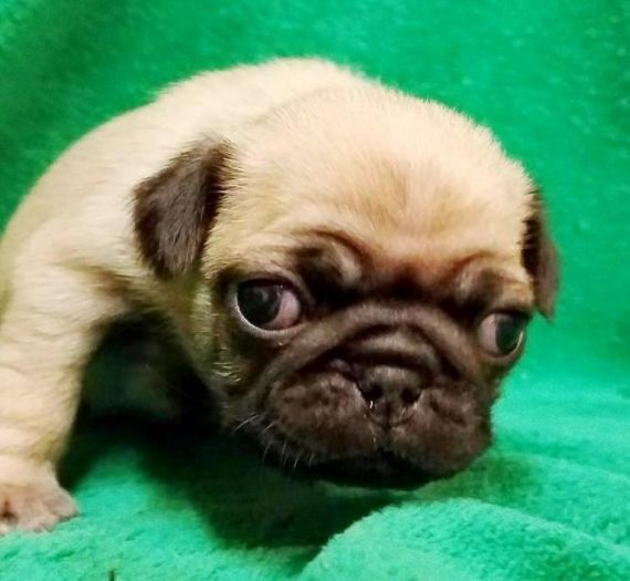 Pug Puppies For Sale Chicago Il 195159 Petzlover