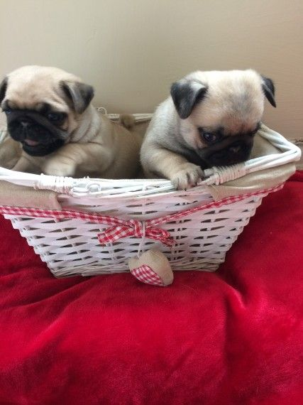 Pug Puppies For Sale Chicago Il 201729 Petzlover