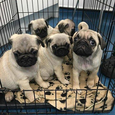 pug puppies for sale in nj pug puppies for sale nevada street newark nj 203565 7437