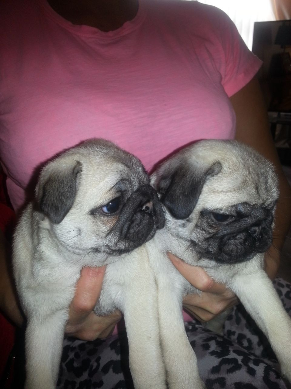 Baby pugs for sale in los angeles : Mobile code in usa