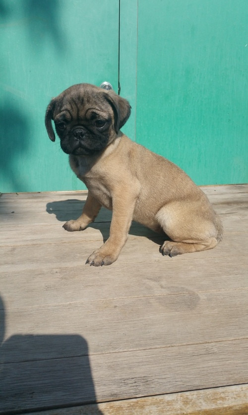 pug breeders mn pug puppies for sale mound mn 205929 petzlover 3129