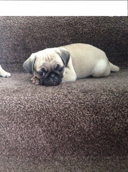 pug for sale seattle pug puppies for sale seattle wa 207225 petzlover 4419