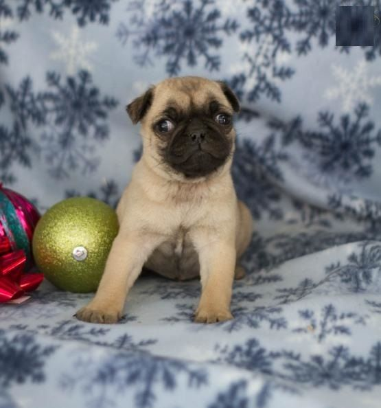 Pug Puppies For Sale New Jersey 3 Nj 211065 Petzlover