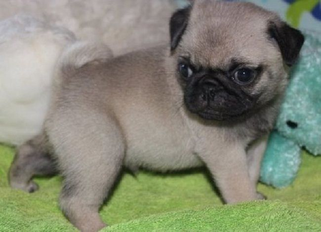 Pug Puppies For Sale Atlanta Ga 213039 Petzlover