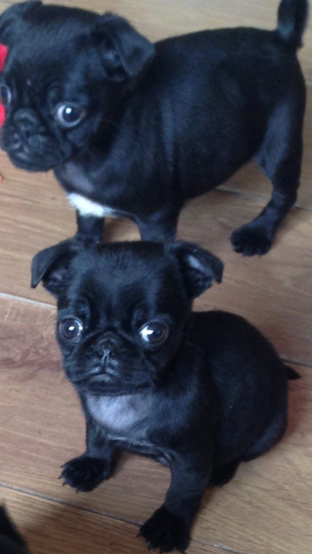 Pug Puppies For Sale Chattanooga Tn 218534 Petzlover
