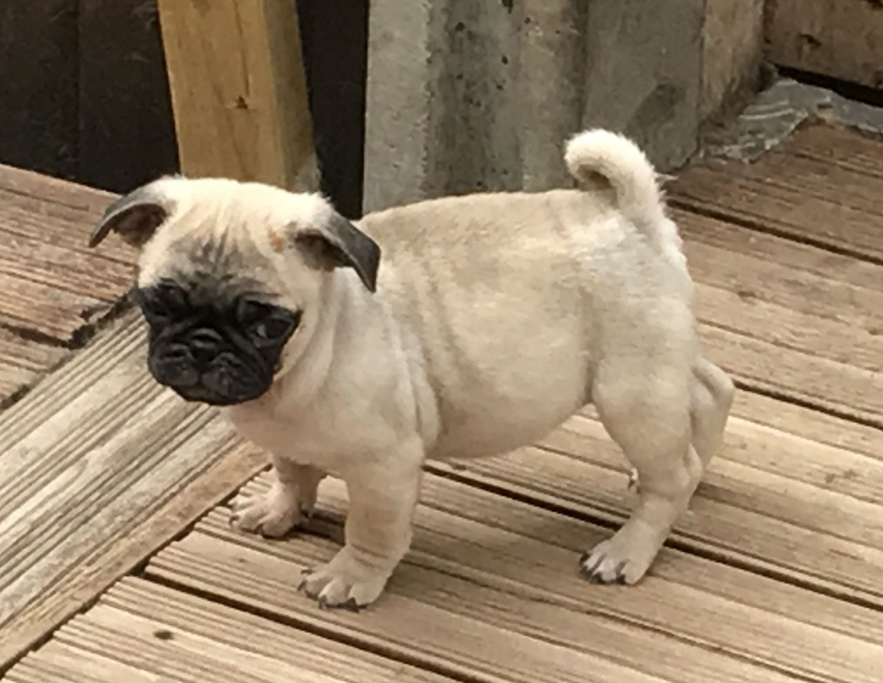 Pug Puppies For Sale Queen City Drive Charlotte Nc 234023