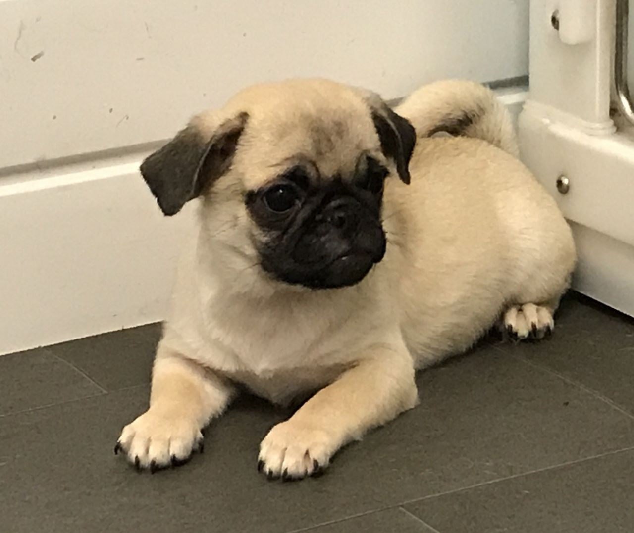 Pug Puppies For Sale Queen City Drive Charlotte Nc 234028