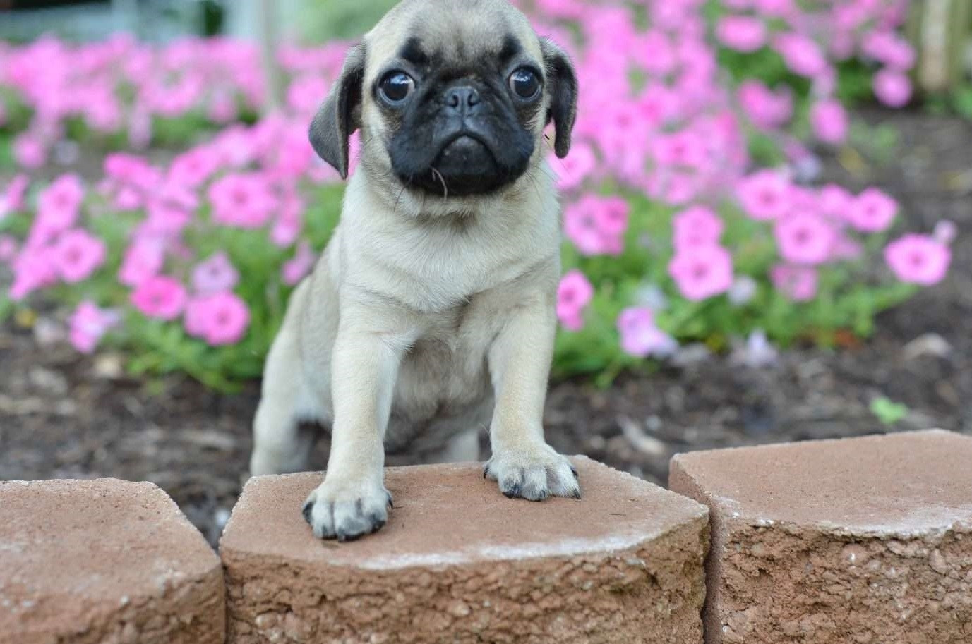 pug breeders in va pug puppies for sale west virginia 18 wv 237643 5162