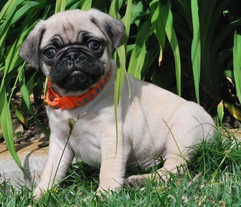 Pug Puppies For Sale Columbus Oh 238260 Petzlover