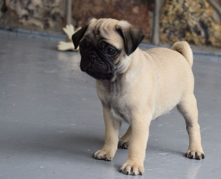 pug for sale seattle pug puppies for sale downtown wa 246831 petzlover 6622