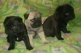 Pug Puppies For Sale North Davis Highway Pensacola Fl 250256