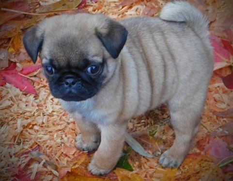 pug breeders in va pug puppies for sale roanoke va 251967 petzlover 9904